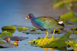 Purple Gallinule on spadderdock in Everglades National Park
