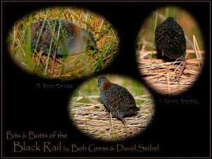 Bits & Butts of the Black Rail
