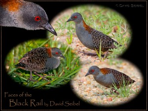 Faces of the Black Rail