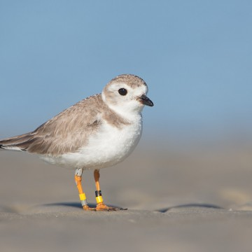 A Plover Named Erwin