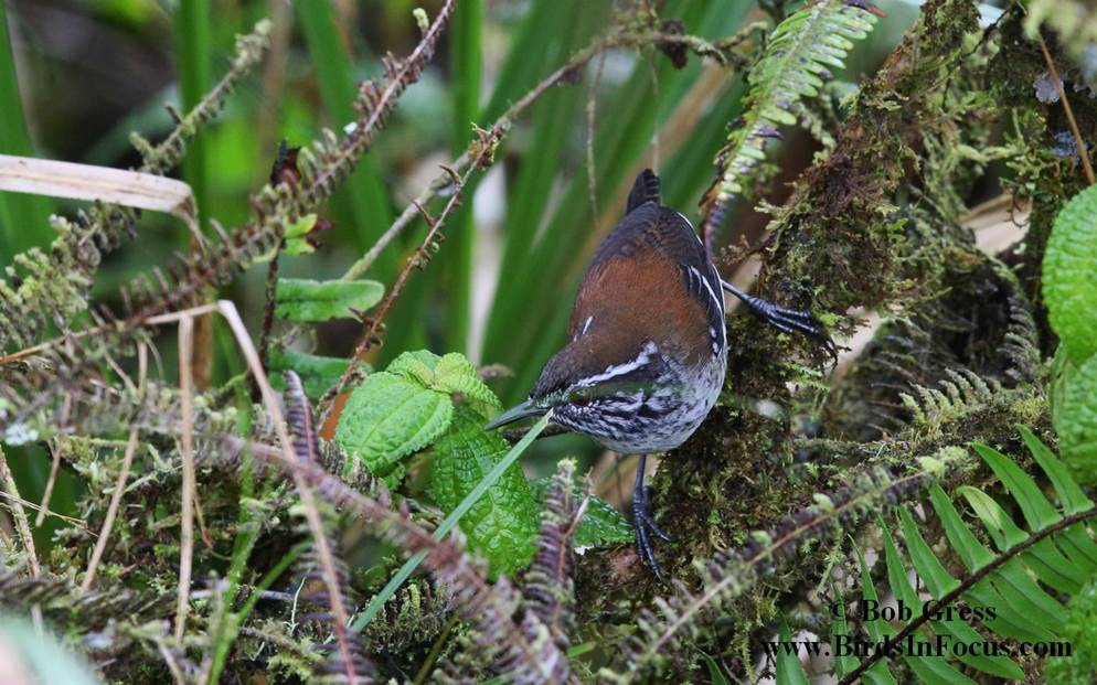 Bar-winged Wood-wren
