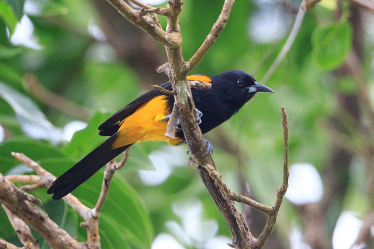 St Lucia Oriole