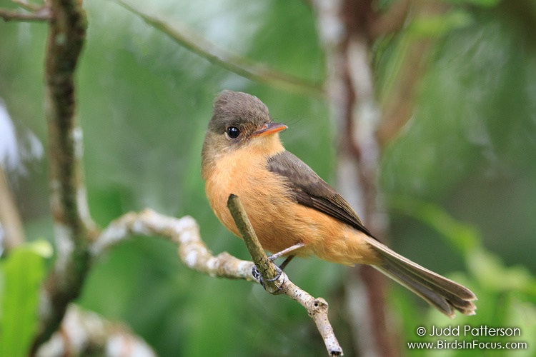 St. Lucian Pewee