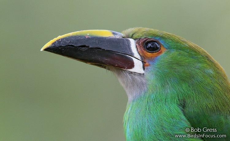 Southern Emerald-Toucanet by Bob Gress