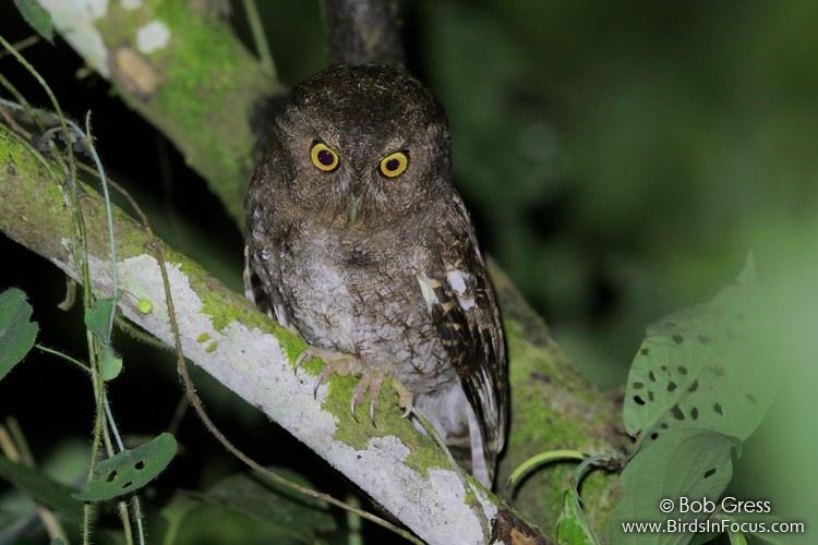 Foothill Screech-Owl by Bob Gress
