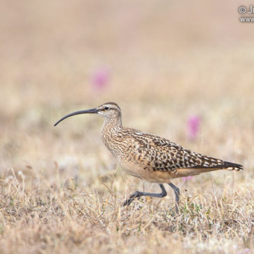 Curlew Country