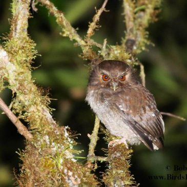 Long-whiskered Owlet and Peruvian Endemics