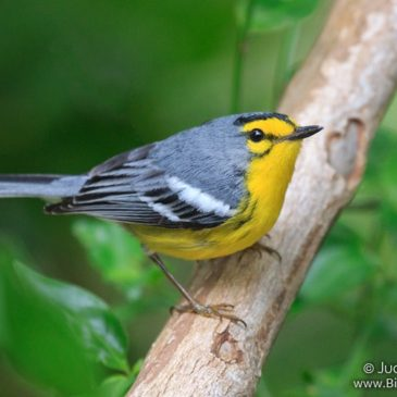 Endemic Birds of St. Lucia