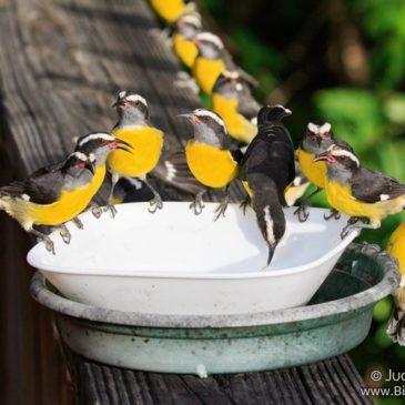 Caribbean Bird Relief